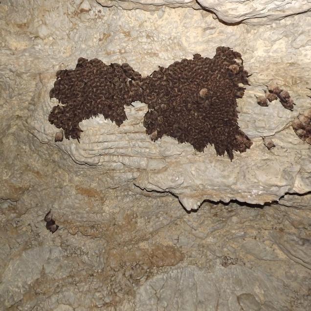 colonie lilieci