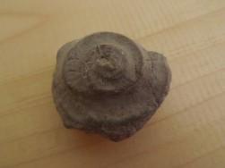 amonit 1